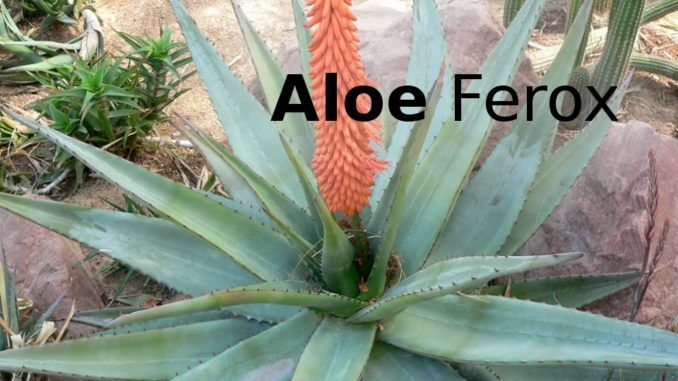 Image result for aloe ferox dove si compra